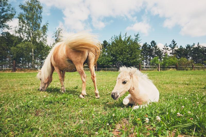 Miniature horse on the pasture. Mare with foal of the miniature horse on the pasture royalty free stock photo