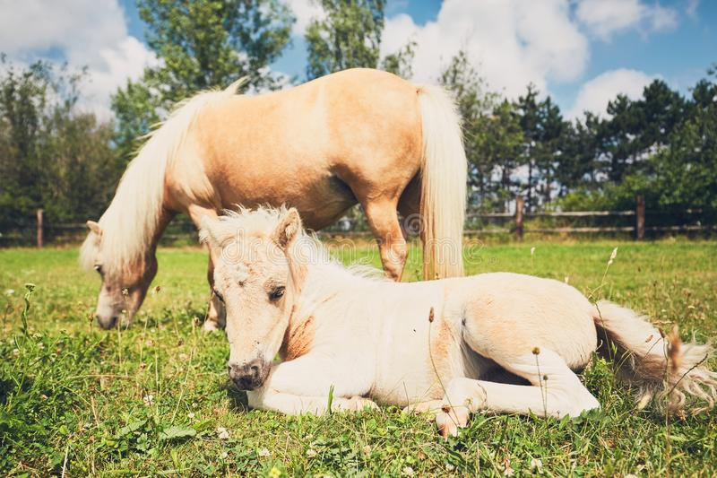 Miniature horse on the pasture. Mare with foal of the miniature horse on the pasture royalty free stock photos
