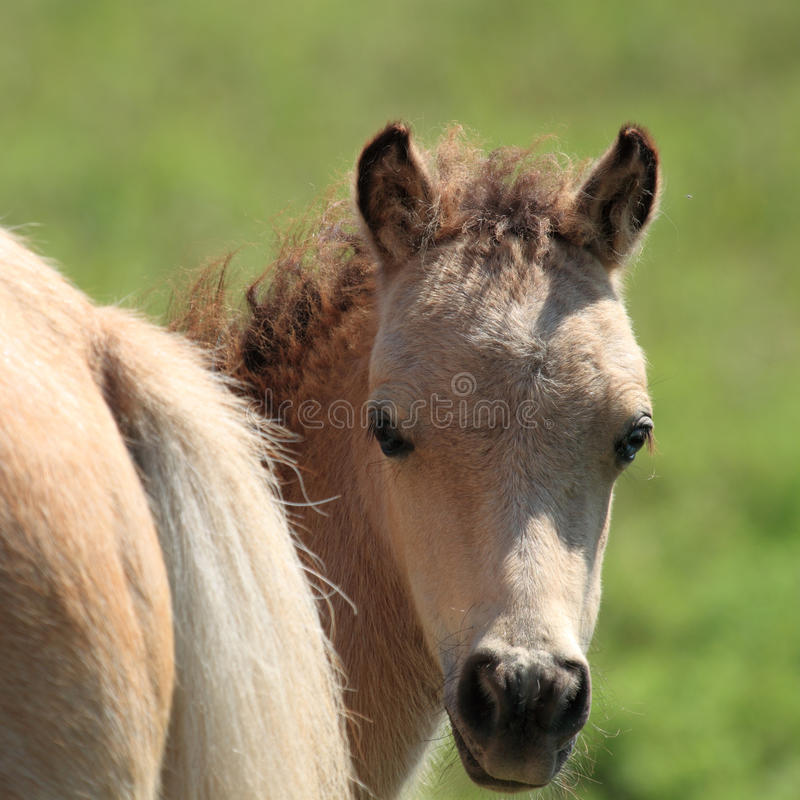 Miniature Horse Peek-a-Boo. Baby miniature horse peeking around it's mother's behind royalty free stock image