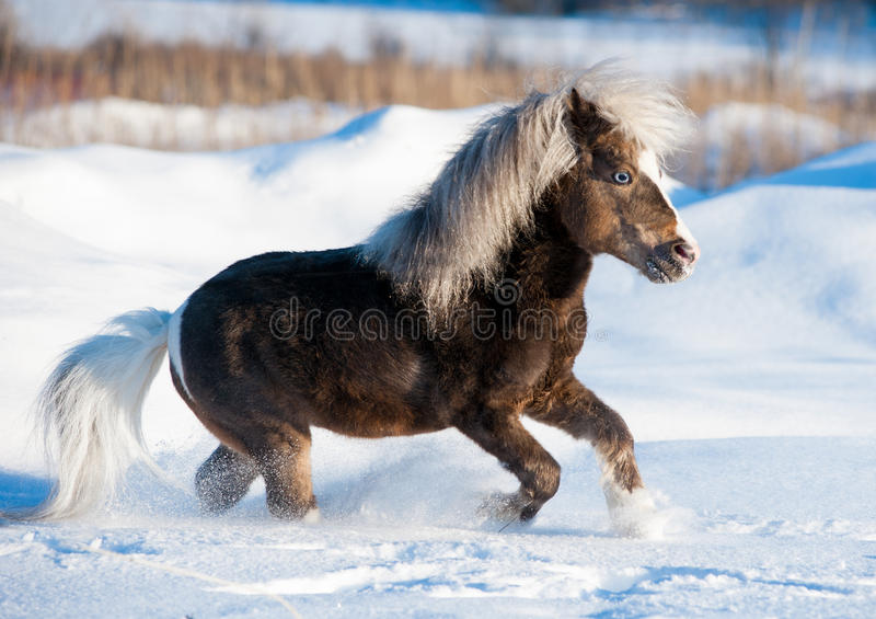 Miniature horse running in the snow in field. The miniature horse running in the snow in field stock photos