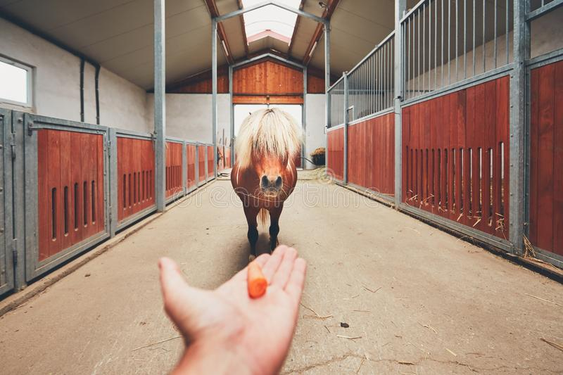 Miniature horse in the stable. Hand of the farmer offering carrot and and miniature horse in the middle of the stable stock image