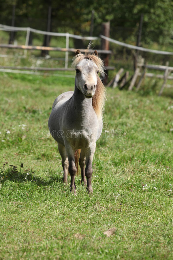Miniature horse stallion. Looking at you on pasturage stock photos