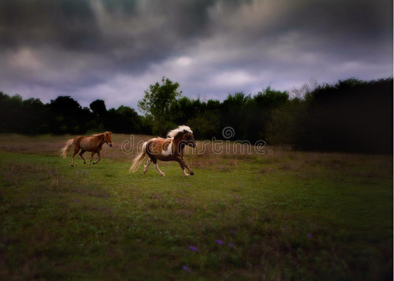 Miniature horses galloping stock photography