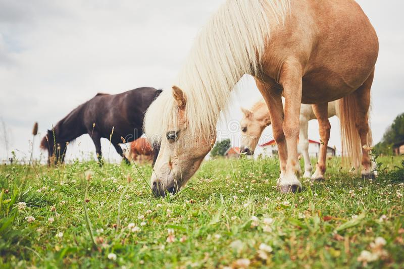Miniature horses on the pasture. Grazing horses. Herd of the miniature horses on the pasture stock images
