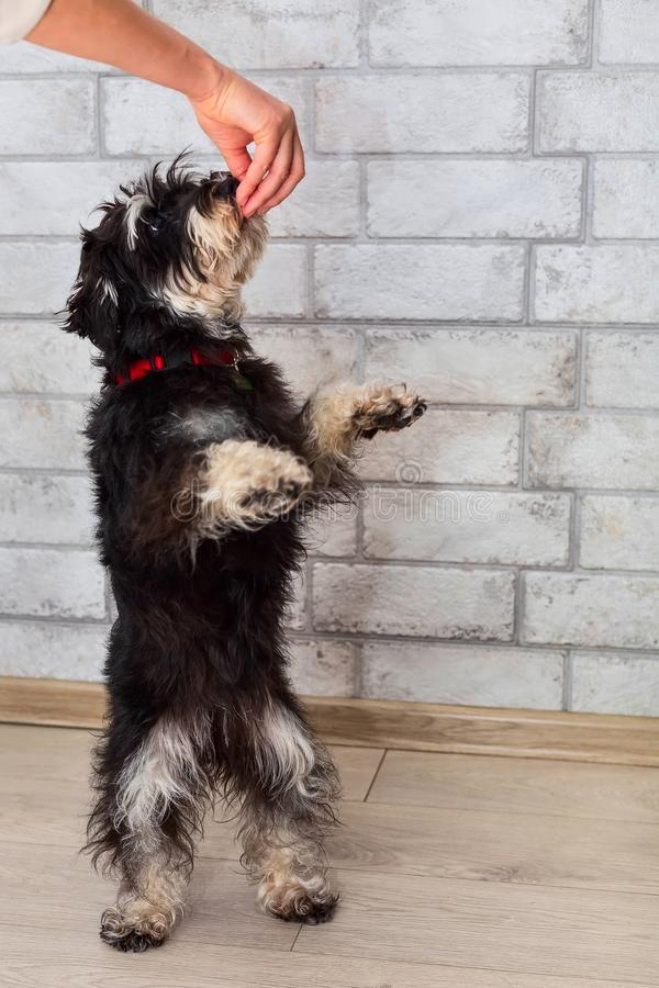 Miniature mini schnauzer standing on hind legs. Miniature mini schnauzer puppy on hind legs looking treat in the hand of the owner stock images