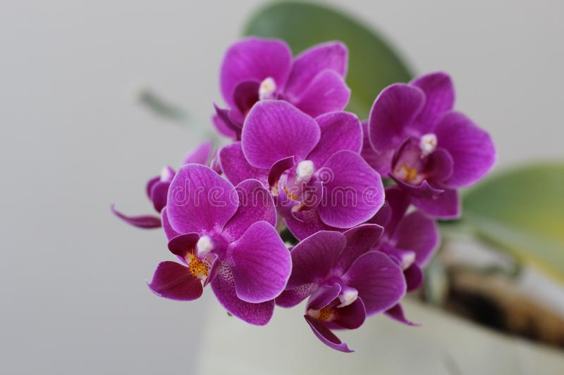Miniature Moth Orchid Phalaenopsis flower close-up in spring royalty free stock photo