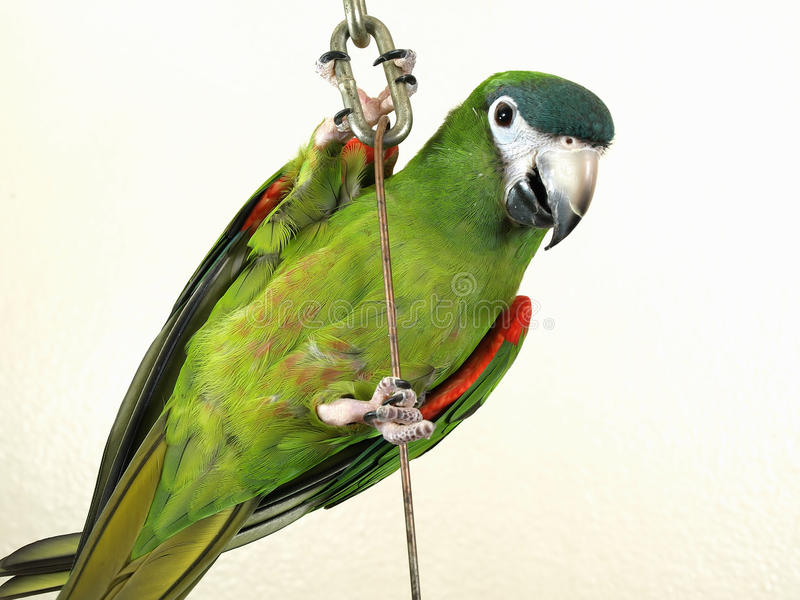 Download Miniature Noble Macaw Royalty Free Stock Photo - Image: 18427485