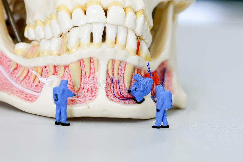 Miniature people scientist at work with dental tooth model. The Miniature people scientist at work with dental tooth model royalty free stock image