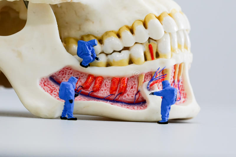Miniature people scientist at work with dental tooth model. The Miniature people scientist at work with dental tooth model royalty free stock photography