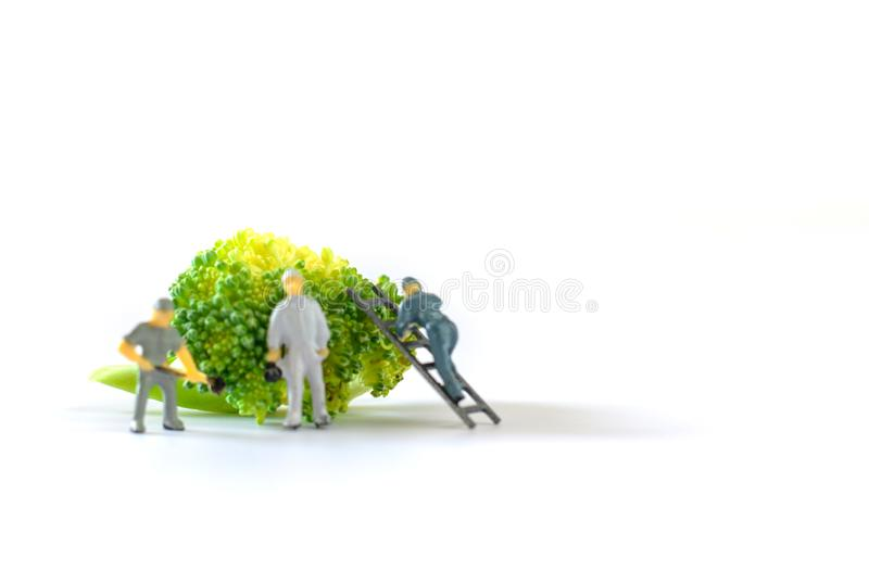 Miniature people, small model human figure clean fresh raw broccoli with copy space. Agriculture concept. Team work on vegetable. On white background royalty free stock photo