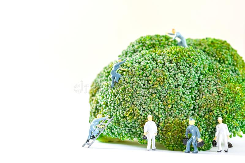 Miniature people, small model human figure clean fresh raw broccoli with copy space. Agriculture concept. Team work on vegetable. Healthy food royalty free stock images