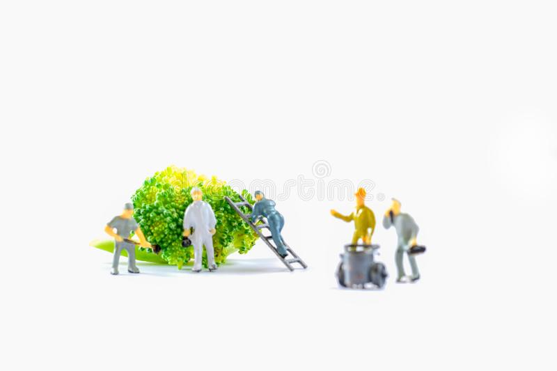 Miniature people, small model human figure clean fresh raw broccoli with copy space. Agriculture concept. Team work on vegetable. On white background stock photos