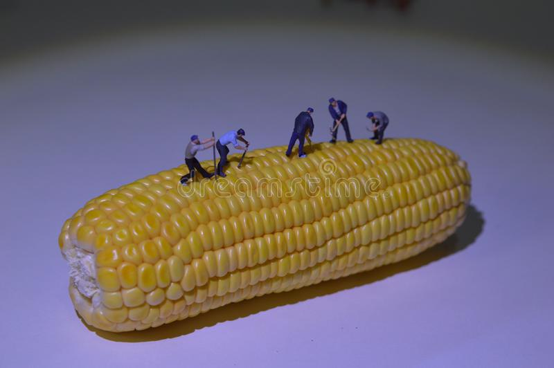 Miniature people working at corn as field. Construction concept of miniature people stock photography