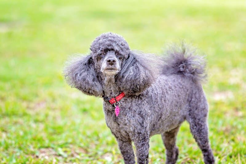 Pet Miniature Black Poodle Dog. A miniature pet black poodle spoiled dog standing against a green grass background stock photos