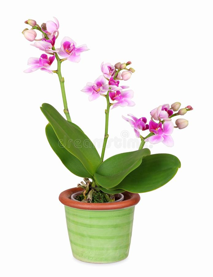 Mini orchid in green ceramic pot, isolated stock photo