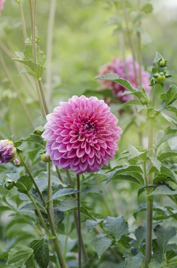 Miniature pink ball dahlia royalty free stock images