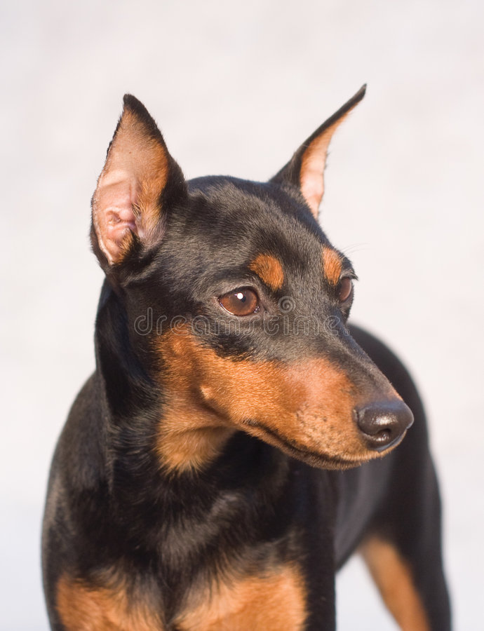 Free Miniature Pinscher Royalty Free Stock Image - 7842966