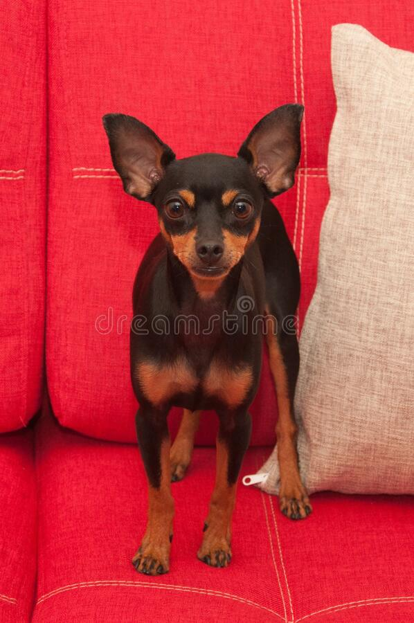 Miniature pinscher portrait stock photo