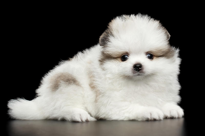 Miniature Pomeranian Spitz puppy on black background. Groomed miniature Pomeranian Spitz white puppy Liyng on black isolated background, side view royalty free stock images