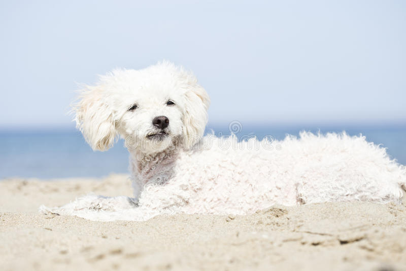 Miniature poodle on beach. Look at camera stock image