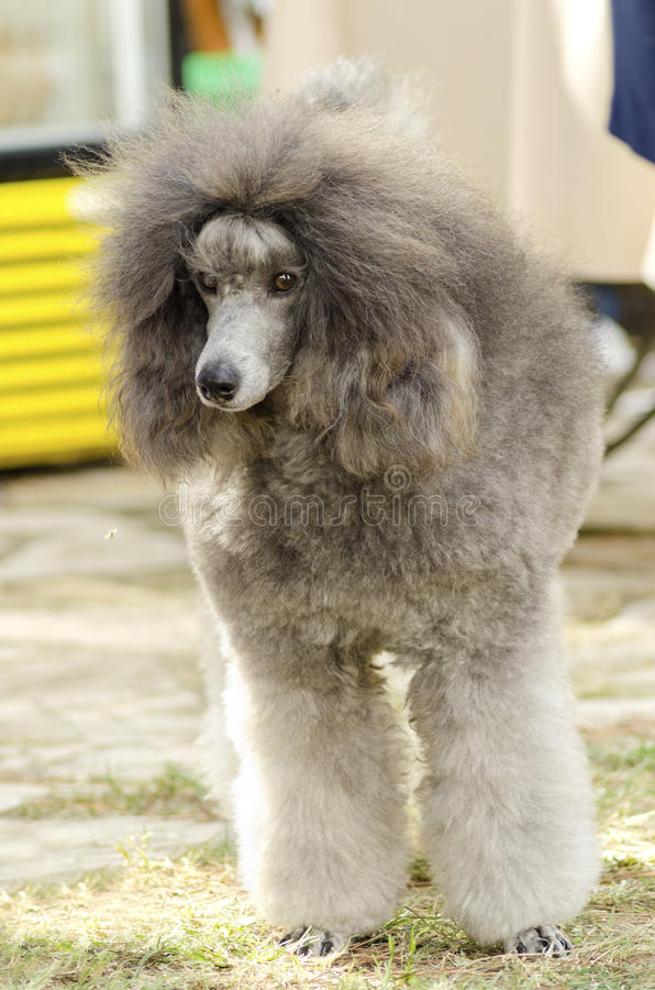 Miniature Poodle. A close up of a small beautiful and adorable silver gray Miniature Poodle dog. Poodles are exceptionally intelligent usually equated to beauty royalty free stock image