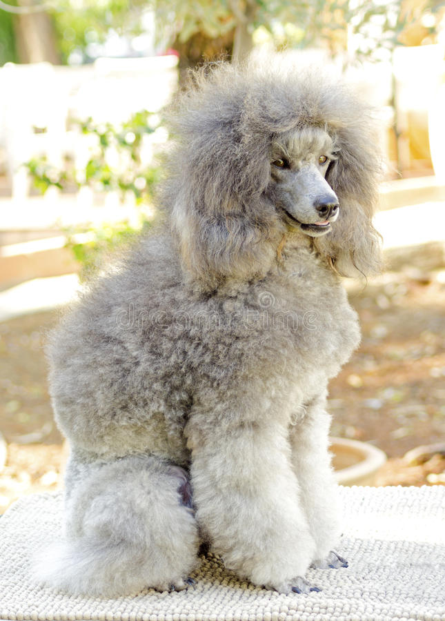 Miniature Poodle. A close up of a small beautiful and adorable silver gray Miniature Poodle dog. Poodles are exceptionally intelligent usually equated to beauty stock image