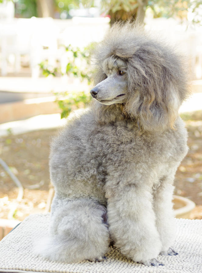 Miniature Poodle. A close up of a small beautiful and adorable silver gray Miniature Poodle dog. Poodles are exceptionally intelligent usually equated to beauty royalty free stock photo