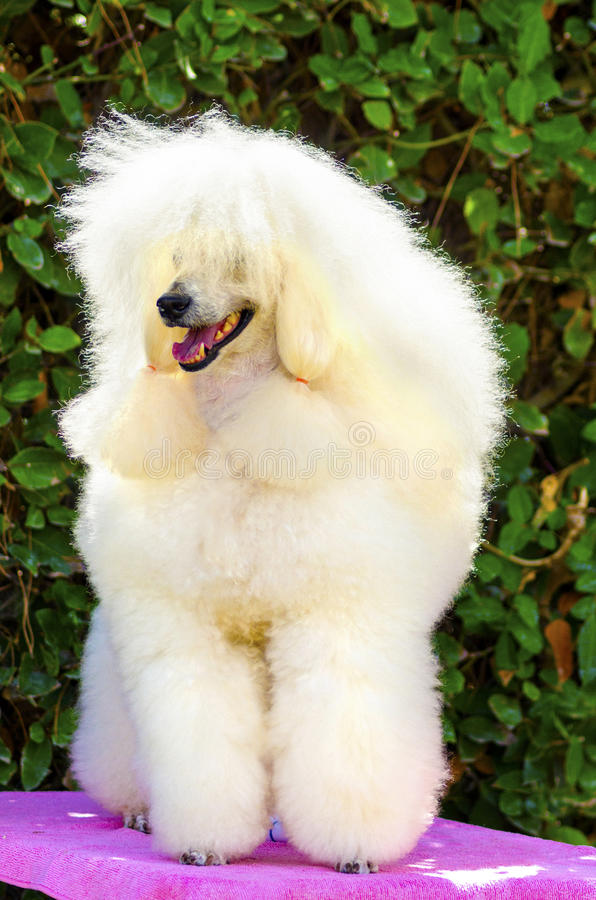 Miniature Poodle. A close up of a small beautiful and adorable white cream Miniature Poodle dog. Poodles are exceptionally intelligent usually equated to beauty stock image