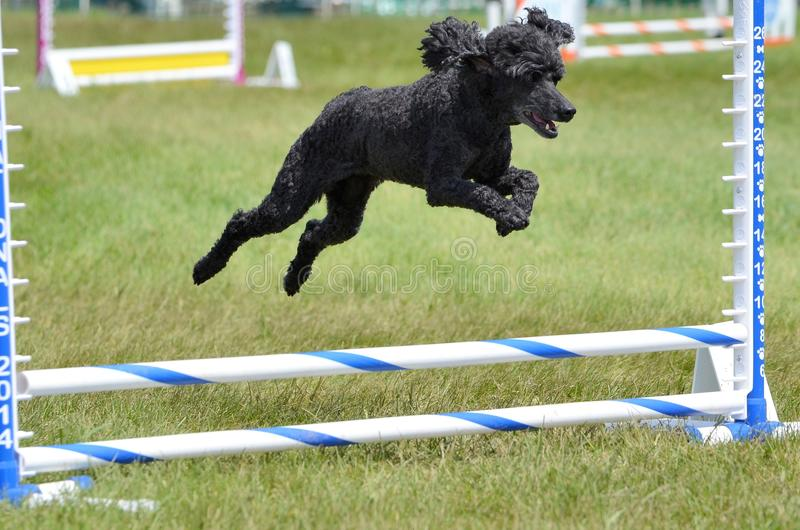 Miniature Poodle at a Dog Agility Trial. Black Miniature Poodle Running Leaping Over a Jump at an Agility Trial royalty free stock image
