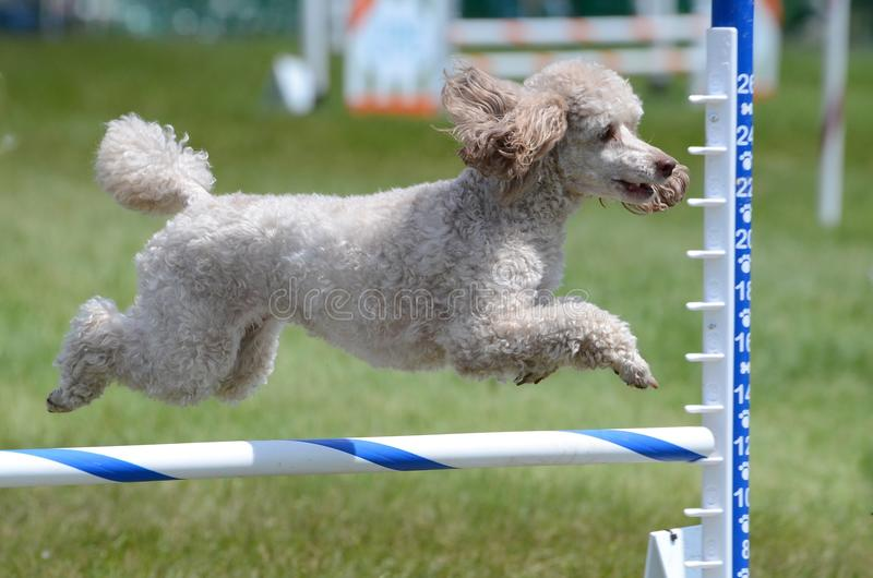 Miniature Poodle at Dog Agility Trial. Miniature Poodle Leaping Over a Jump at a Dog Agility Trial stock photos