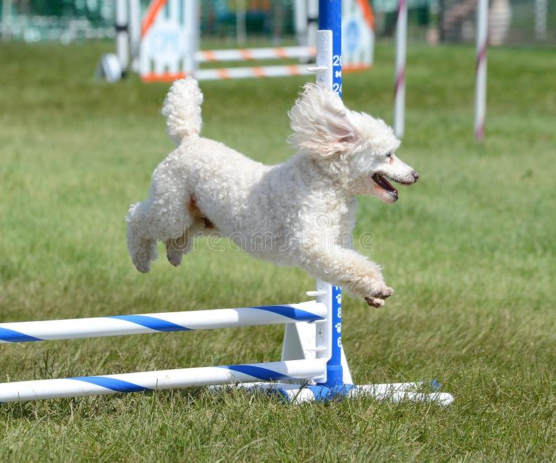 Miniature Poodle at a Dog Agility Trial. Miniature Poodle Running Leaping Over a Jump at an Agility Trial stock photo