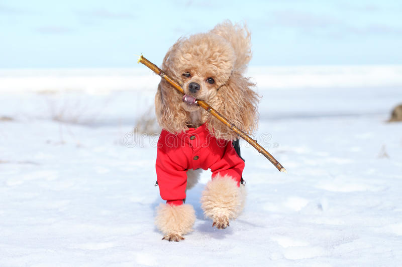 Miniature poodle plays with a dry branch. Miniature poodle dog cheerfully plays with a dry branch royalty free stock photography