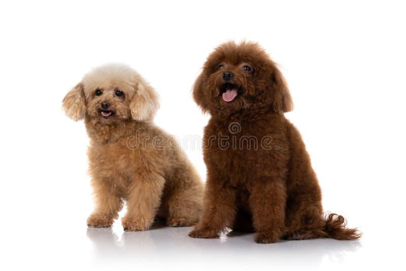 Miniature poodle dog isolated. Portrait of miniature poodle dog isolated on white background stock photos