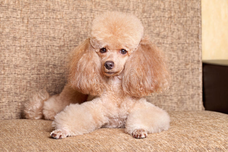 Miniature poodle dog lying. On brown background royalty free stock image