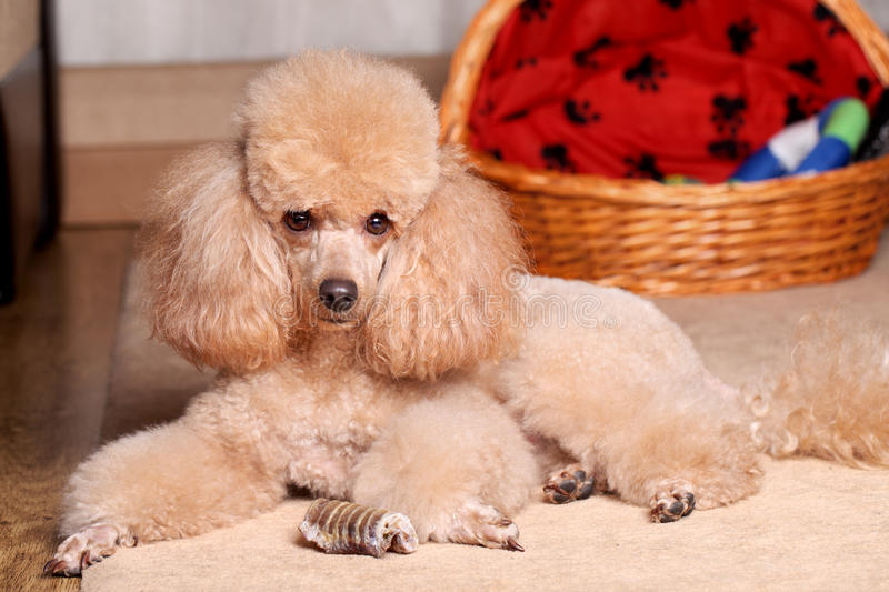 Miniature Poodle and dry bone. Miniature Poodle lying near dry bone. Indoor shoot royalty free stock photos