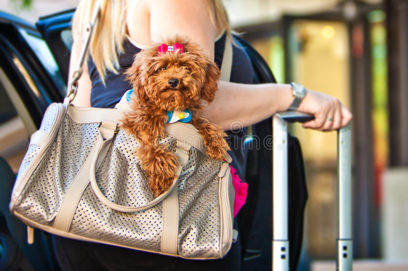 Miniature Poodle Going On A Trip Stock Photo