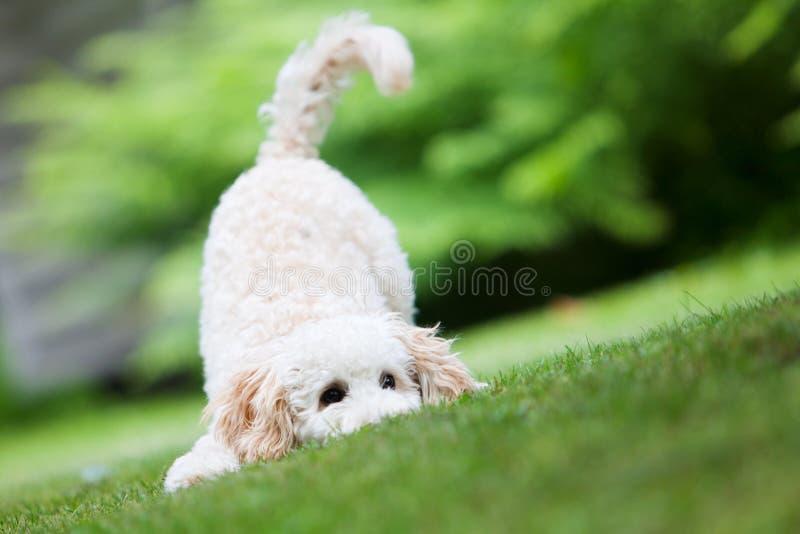 Miniature poodle. Having fun outdoors stock photos