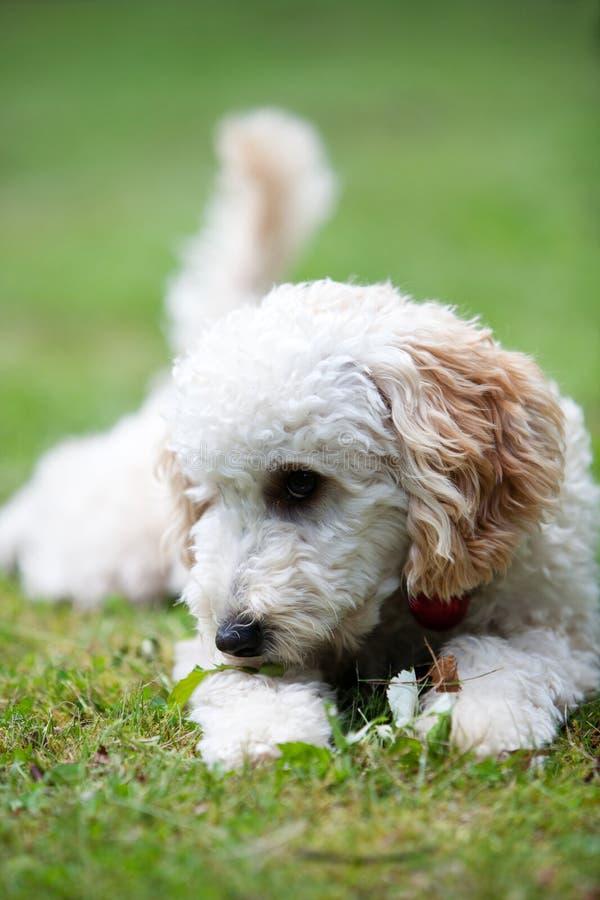 Miniature poodle. Having fun outdoors stock image