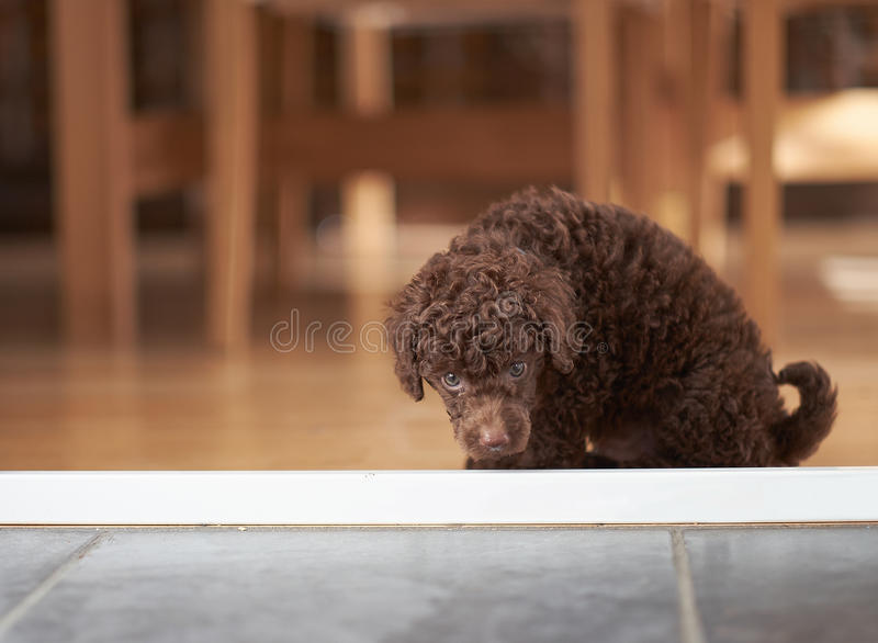 Miniature Poodle. An inquisitive miniature poodle sniffing the floor royalty free stock photography