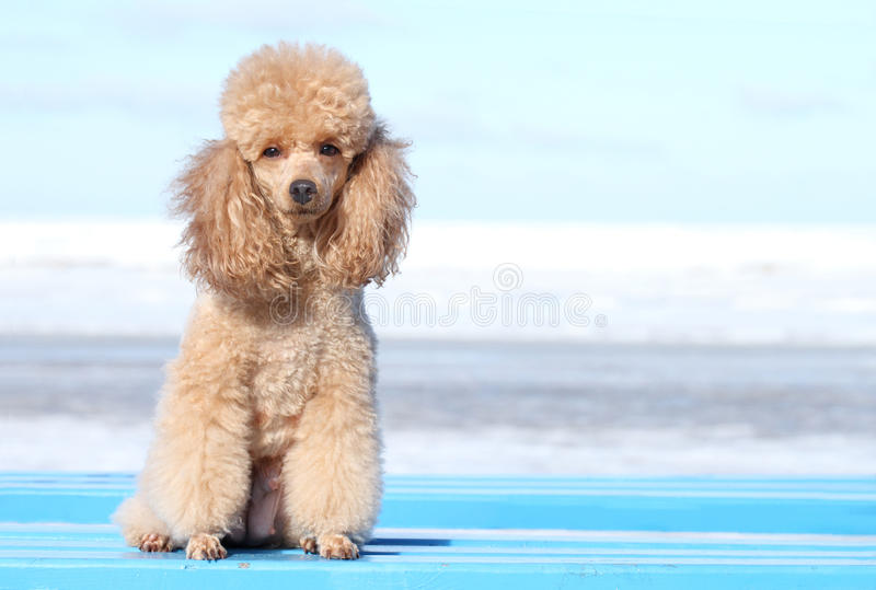 Miniature poodle portrait stock images