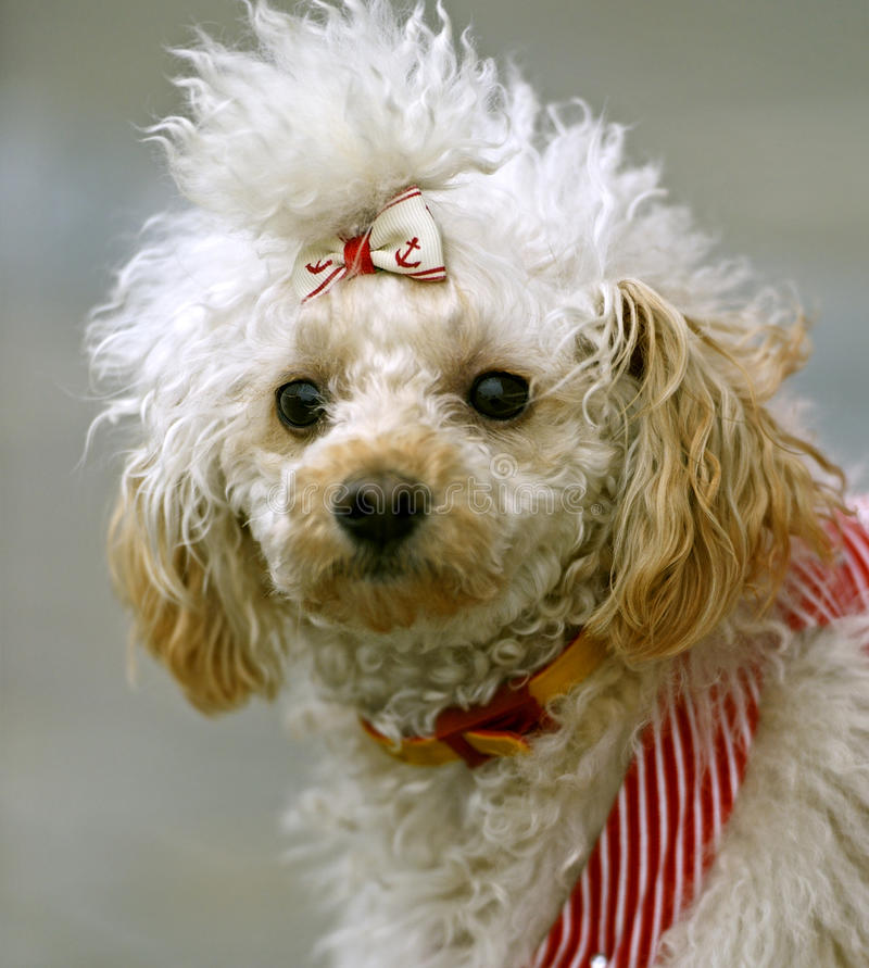 Miniature poodle. Playing in the street royalty free stock photography