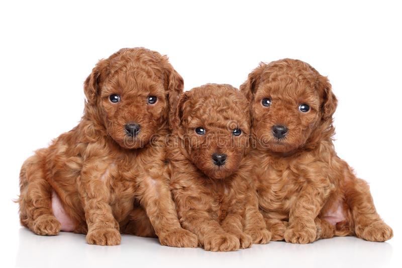 Miniature poodle puppies (30 days). Miniature poodle puppies portrait (30 days) on a white background stock image