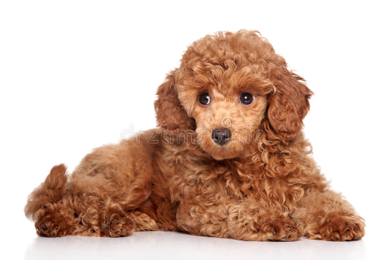 Miniature poodle puppy. (2 month) lying on a white background royalty free stock images