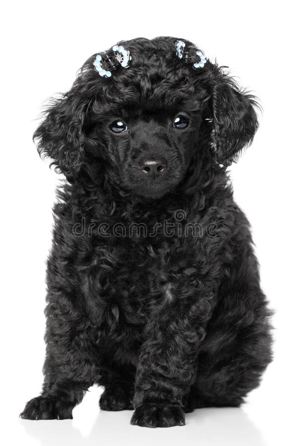 Miniature Poodle Puppy. Black Miniature Poodle Puppy sits on a white background stock photos