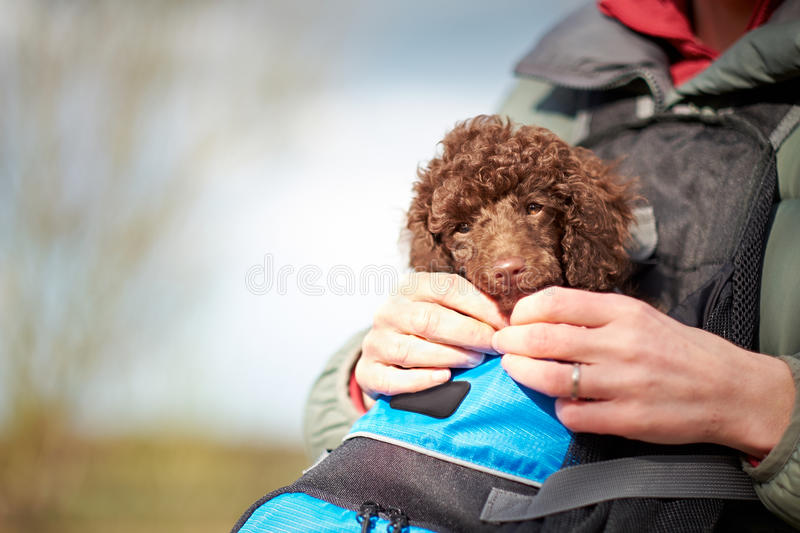Miniature Poodle Puppy. A miniature poodle puppy being carried in a carrier outside stock photos