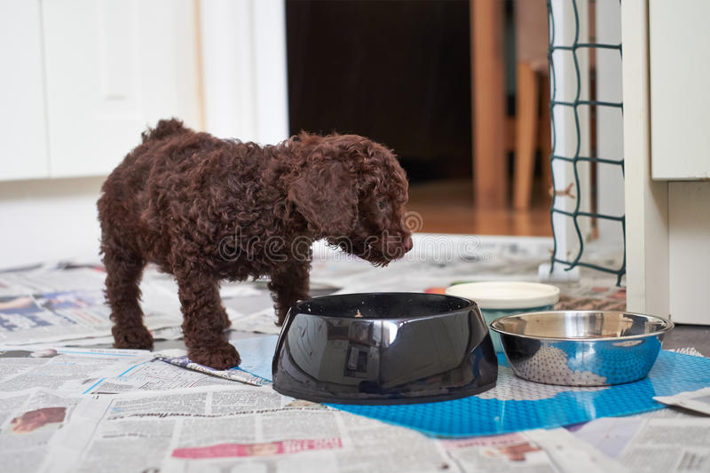 Miniature Poodle Puppy. A miniature poodle puppy eating his dinner stock images