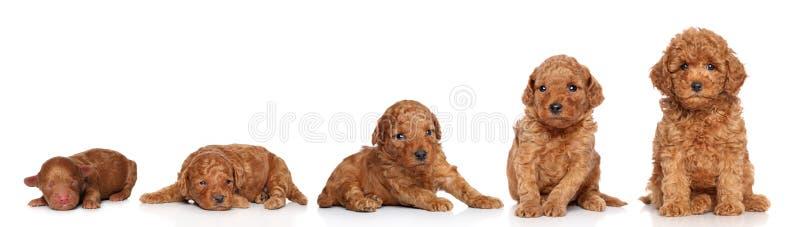 Miniature Poodle. Puppy growing. (2 days, 2 week, 3 week, 4 week, 6 week) on a white background stock image