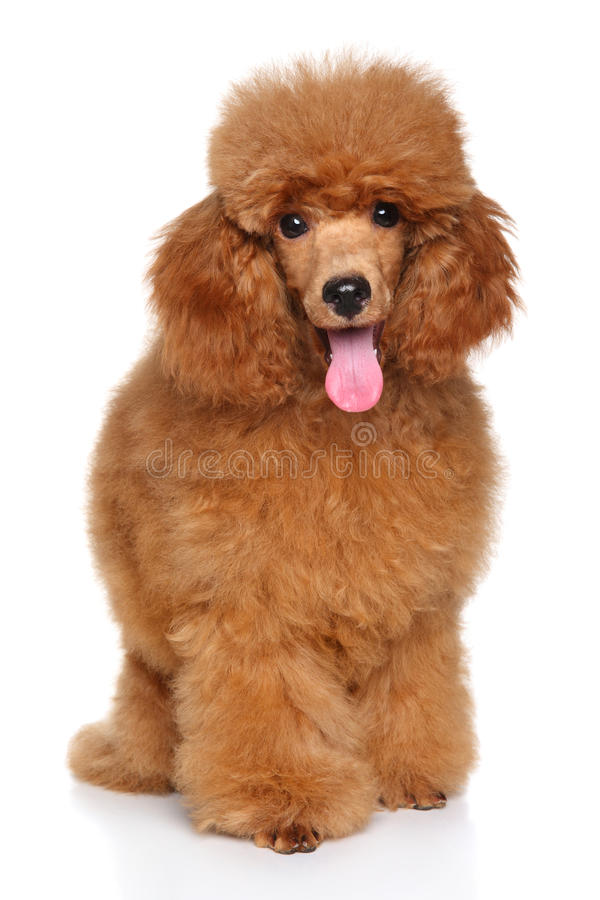 Miniature Poodle puppy. Happy dog. Miniature Poodle puppy sits in front of white background stock image