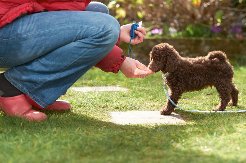 Miniature Poodle Puppy. Lead and clicker training for a miniature poodle puppy in the garden stock images