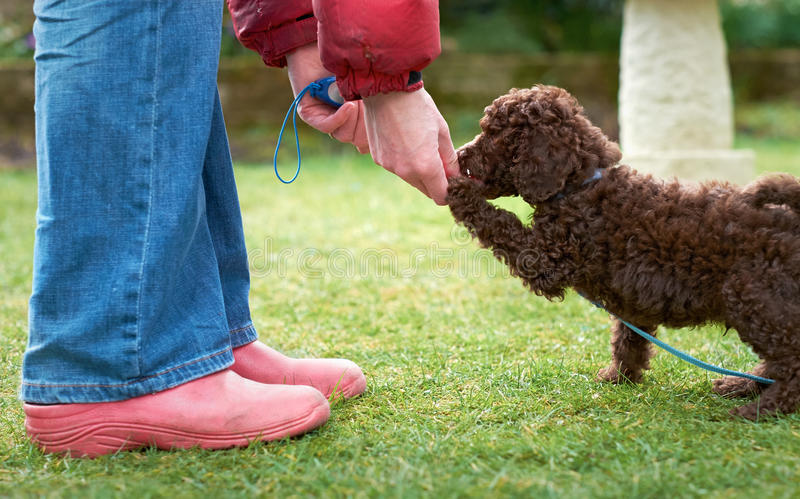 Miniature Poodle Puppy. Lead and clicker training for a miniature poodle puppy in the garden stock photo